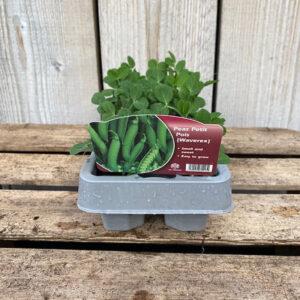 Pea Plant Petit Pois Waverex 12 Pack