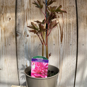 Peony Dr Alexdander Flemming Product