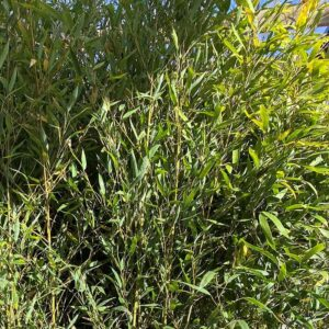 Phyllostachys aurea fishpole bamboo provides cover