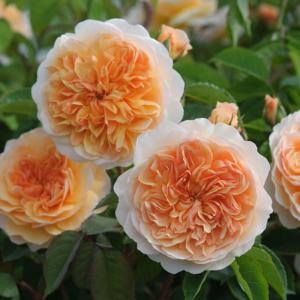 David Austin Roses Port Sunlight 6L Premium Potted Rose