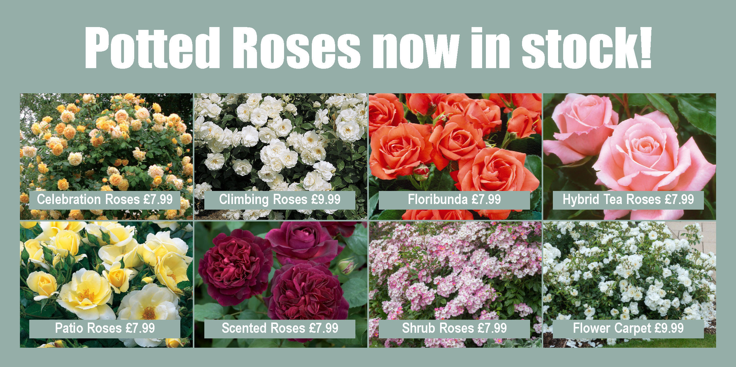 Potted Roses Website Graphic