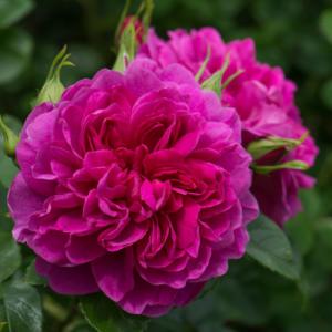 David Austin Roses Princess Anne 6L Shrub Rose