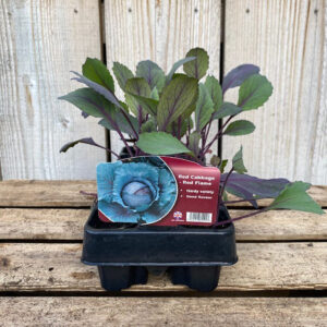 Red Cabbage Plant Red Flame 12 Pack