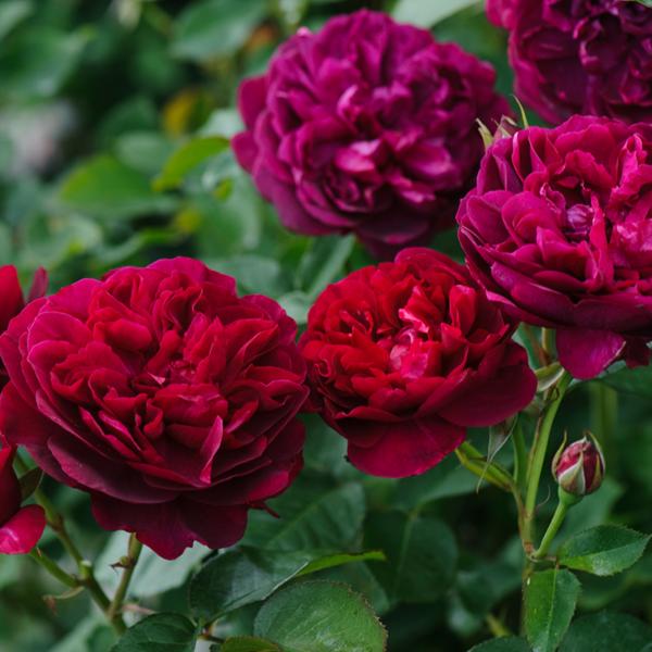 David Austin Darcey Bussell® (Ausdecorum) English Shrub Rose in bloom (Images courtesy of David Austin Roses)