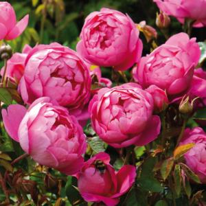 David Austin Roses Royal Jubilee 6L Shrub Rose