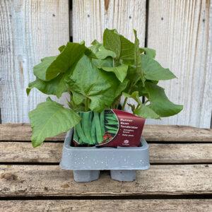Runner Bean Plant Tenderstar (12 Pack)