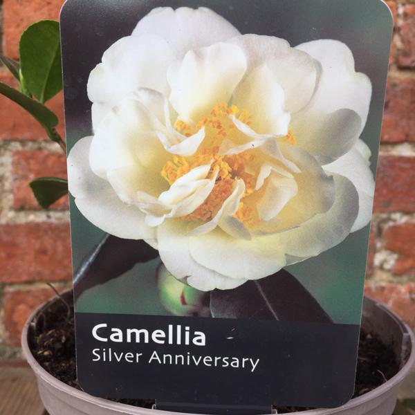 Camellia japonica 'Silver Anniversary' (Courtesy of ©Farplants Sales Ltd)