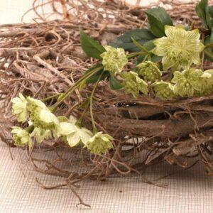 Green Astrantia Stem -14 Flowers (50cm)