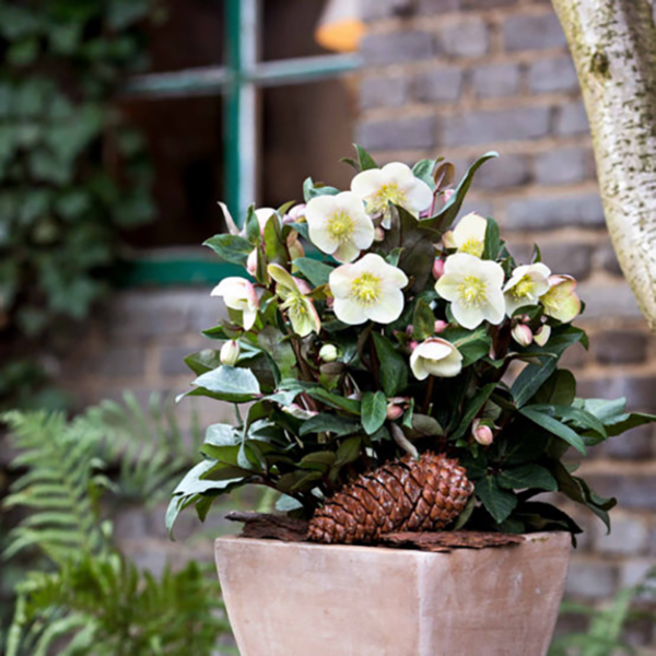 Plant Helleborus 'HGC Snow Dance' in a container for an entrance