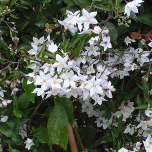 Solanum jasminoides 'Laxum Album' 3L