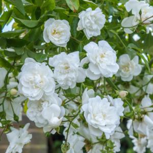 David Austin Roses Sanders White 6L Premium Potted Rose