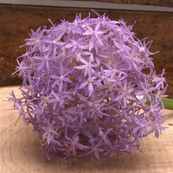 Single Lavender Allium Stem (76cm)