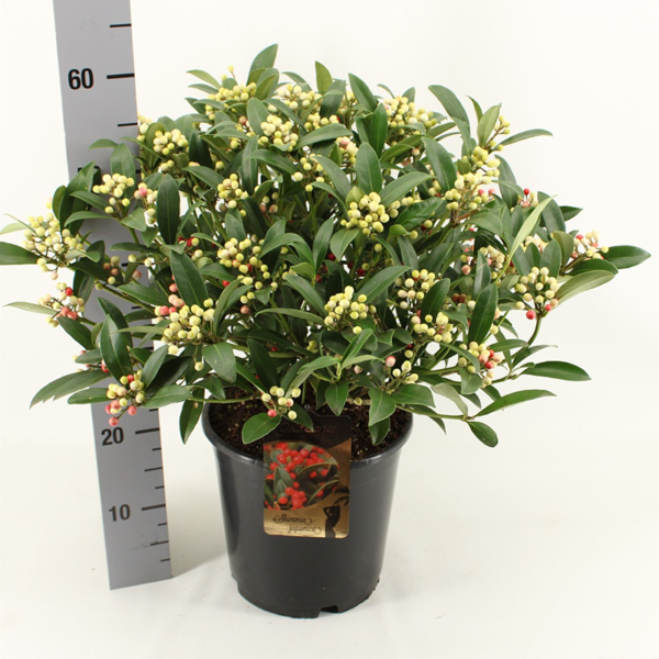 Skimmia japonica (Gold Series)