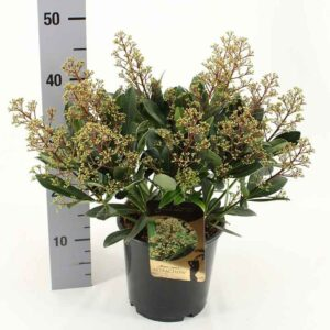 Skimmia japonica 'Attraction' (Gold Series)