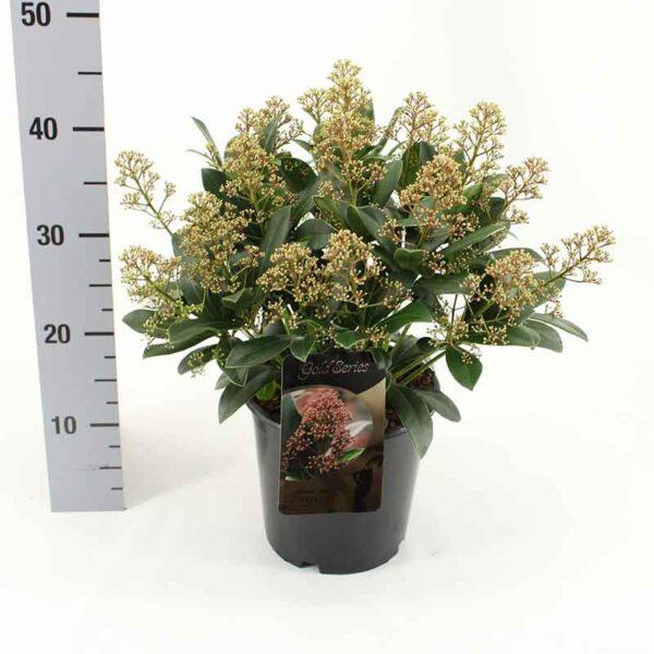 Skimmia japonica 'Delight' (Gold Series)