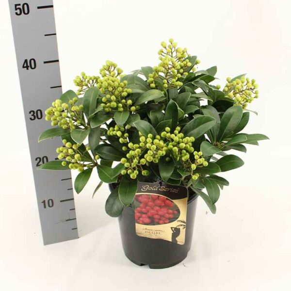 Skimmia japonica 'Desire' (Gold Series) developing red berries