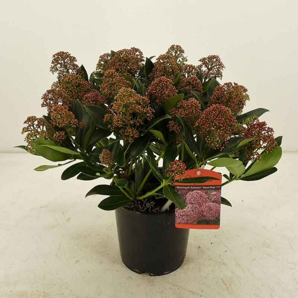 Skimmia japonica 'Pink Giant' (Gold Series)