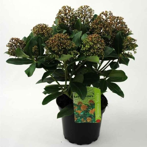 Skimmia japonica 'Smits Glorious' (Gold Series)