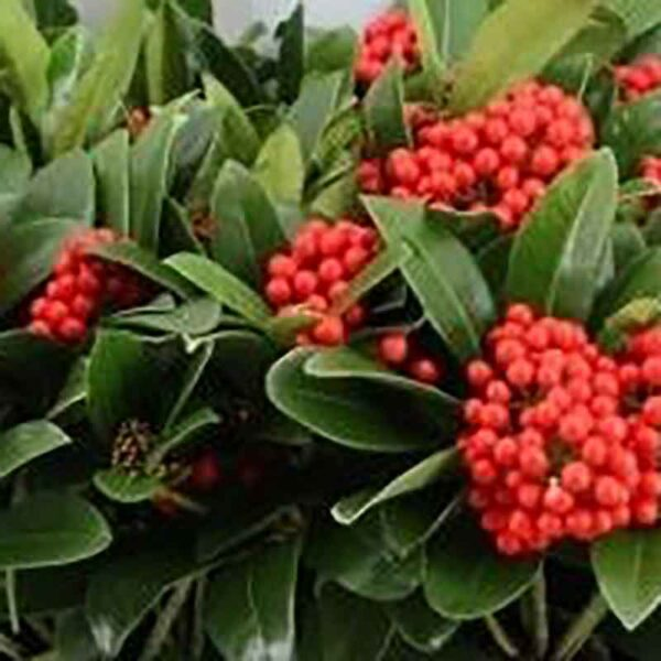 Skimmia japonica Temptation Gold Series Red Berries