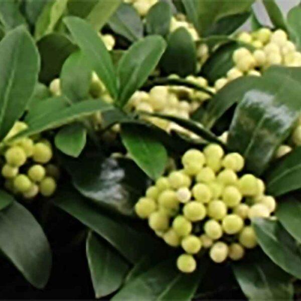 Skimmia japonica 'Temptation' Gold Series White berries
