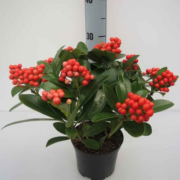 Skimmia japonica 'Temptation' (Gold Series) White or Red Berries
