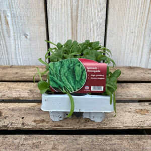 Spinache Renegade Plant (12 Pack)