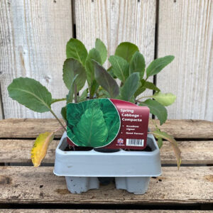 Spring Cabbage Plant Compacta (12 Pack)
