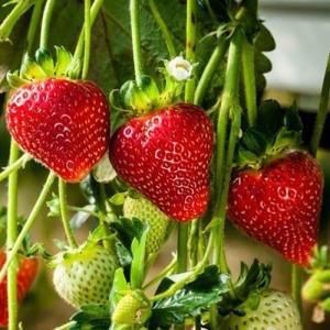 Cambridge Favourite Strawberry Plant