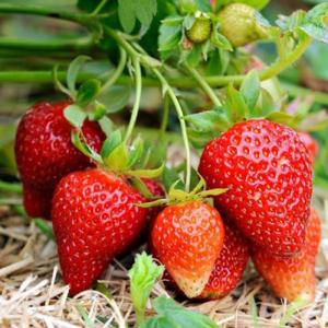 Elsanta Strawberry Plant