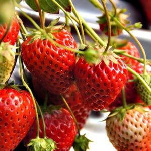 Strawberry Plant - Honeoye