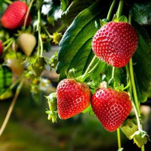 Symphony Strawberry Plant