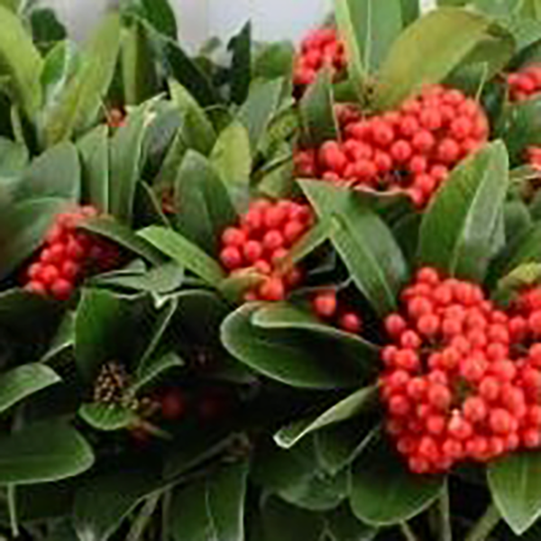 Skimmia japonica 'Temptation' (Gold Series) - Red Berries 12cm pot (Height:25cm)