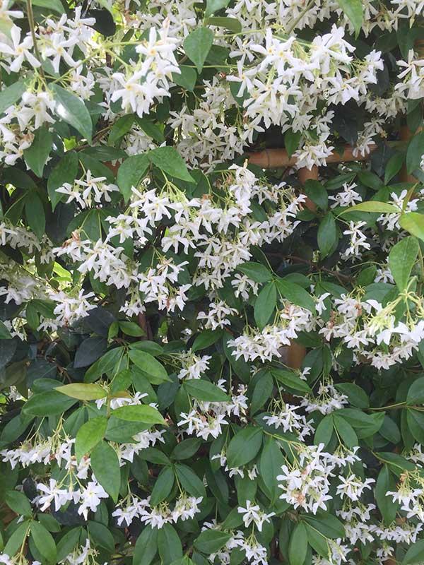 Trachelospermum Jasminoides 3L