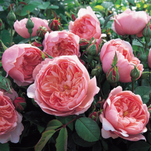 David Austin Roses The Alnwick Rose 6L Premium Potted Rose