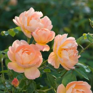 David Austin Roses The Lark Ascending 6L Premium Potted Rose
