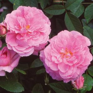 David Austin Roses The Mayflower 6L Shrub Rose