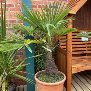 Trachycarpus fortunei Chusan Palm
