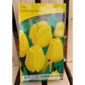 Tulip 'Golden Apeldoorn' (25 Bulbs)