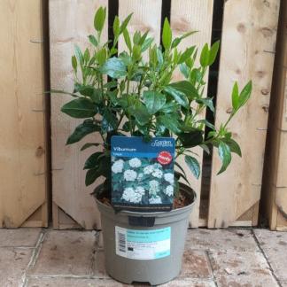 Viburnum tinus (2 litre pot)