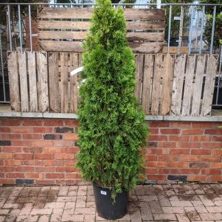 Thuja occidentalis 'Smaragd' (25 litre pot)