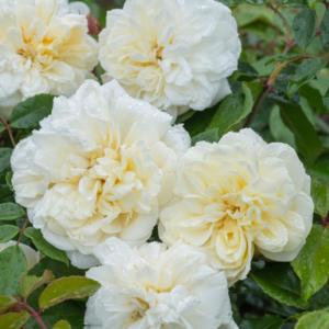 Alberic Barbier 6L Premium Potted Rose