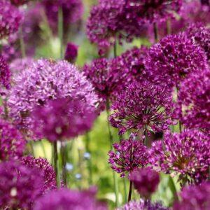 Allium Border Mixed Bulbs