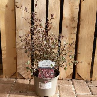 Lophomyrtus 'Magic Dragon' (2 litre pot)