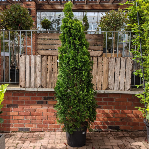 Thuja occidentalis 'Smaragd' (30 litre pot)
