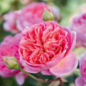 David Austin Roses Boscobel 6L Shrub Rose