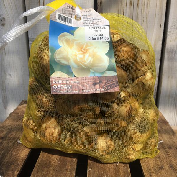 Narcissus 'Obdam' (Double Daffodil)
