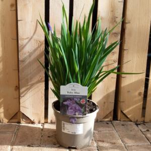 Iris 'Baby Blue' (2 litre pot)