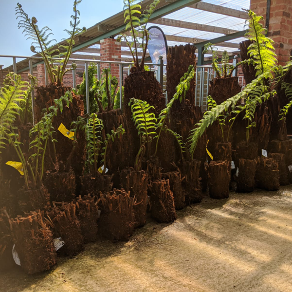 A range of sizes of Dicksonia antarctica Tree Ferns to suit all gardens