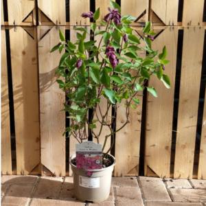 Salvia 'Love & Wishes' (2 litre pot)