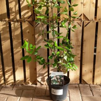 Viburnum × burkwoodii (3 litre pot)